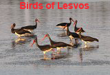 Photoalbum: Birds of Lesvos